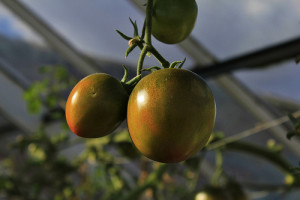 Using a greenhouse to grow tomatoes