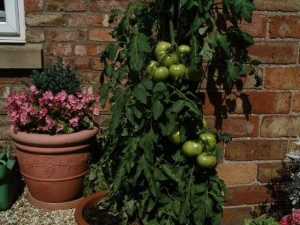 How to grow tomatoes in pots at home