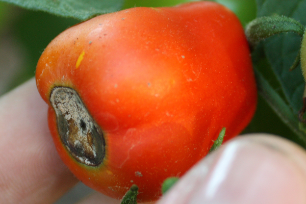 Tomato Diseases – Blossom End Rot is a Common Disease