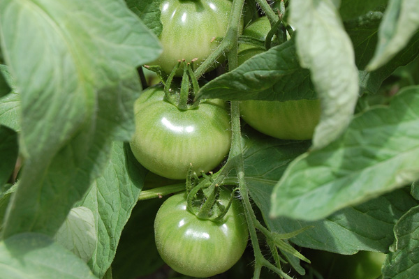 Caring for Tomatoes – Soil Preparation