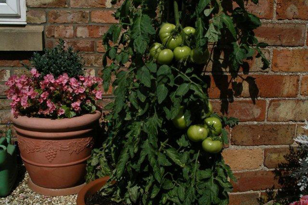 Growing Tomatoes in Containers or Growbags