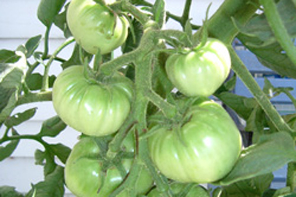Planting Tomatoes Is About Location, Location, Location