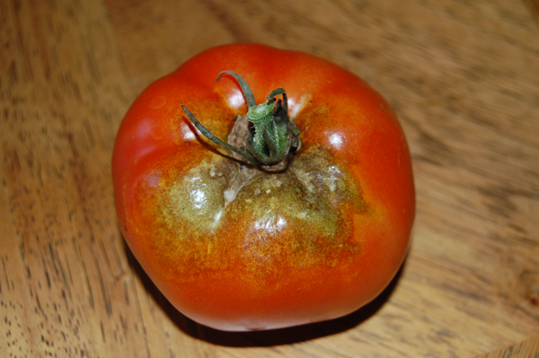 Preventing Tomato Diseases and Stopping Tomato Pests