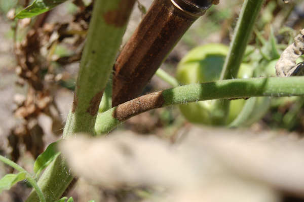 Tomato Plant Problems – The Most Common Ones